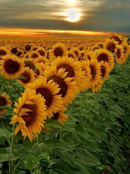 Beautiful field of sunflowers at sunset