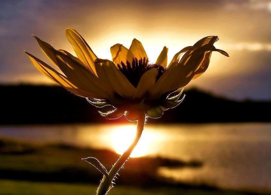 Beautiful Sunflower at Sunset