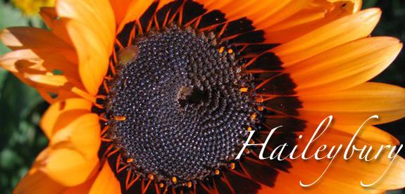 Haileybury Sunflower