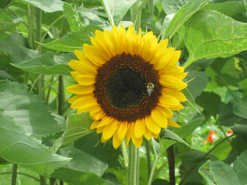 Sunflower at Heritage Line Herbs