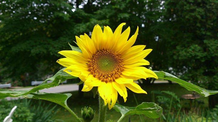 Rosies Sunflower