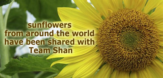 Sunflowers from around the world have been shared with Team Shan