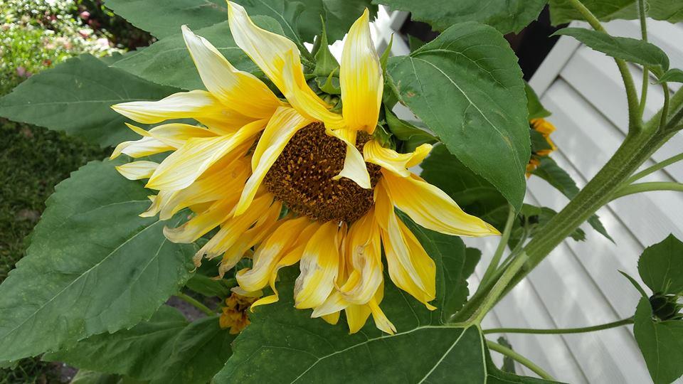 Chris's Sunflower